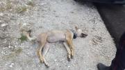 Parco Nazionale dei Monti Sibillini: muore la lupa Magica investita da un'auto.